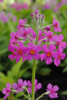 Etagen Primel, rosa Primula beesiana