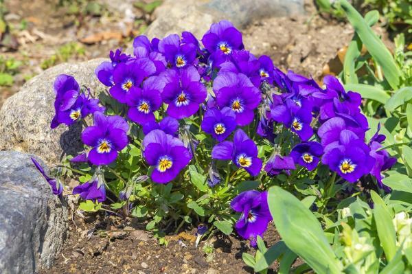 Duft-Veilchen Viola  - odorata 'Königin Charlotte'