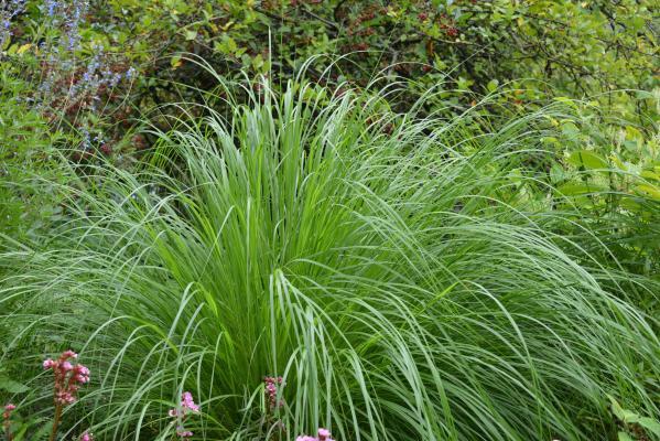 Pennisetum ( Lampenputzergras ) - alopecuroides 'Japonicum'