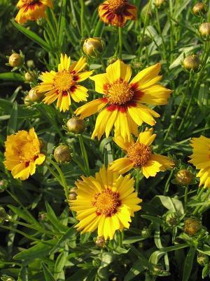 Mädchenauge Coreopsis - lanceolata 'Sterntaler'