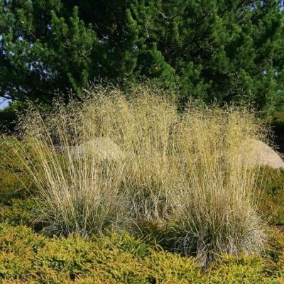Deschampsia ( Waldschmiele ) - cespitosa 'Goldschleier'