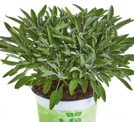 Vital-Salbei Salvia officinalis Evita® Strong