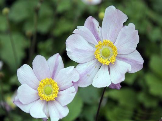 Anemone - tomentosa 'Serenade'