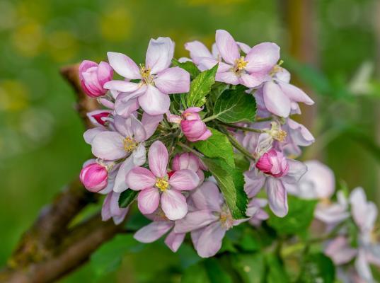 Zwerg-Zierapfelbaum 'Adirondack' - Malus Stamm