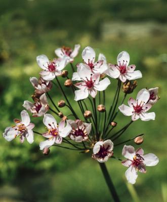 weisse Blumenbinse Butomus umbellatus 'Alba'