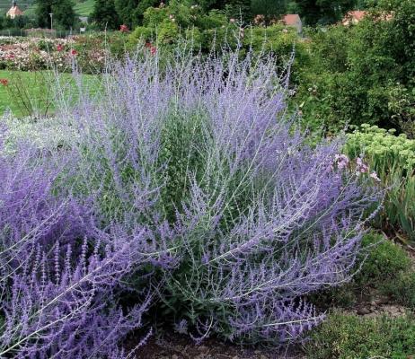 Blauraute 'Blue Spire' - Perovskia atriplicifolia