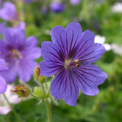 Storchenschnabe Geranium - magnificum 'Rosemoor'