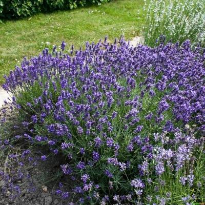 Lavendel Lavandula - angustifolia 'Hidcote Blue'
