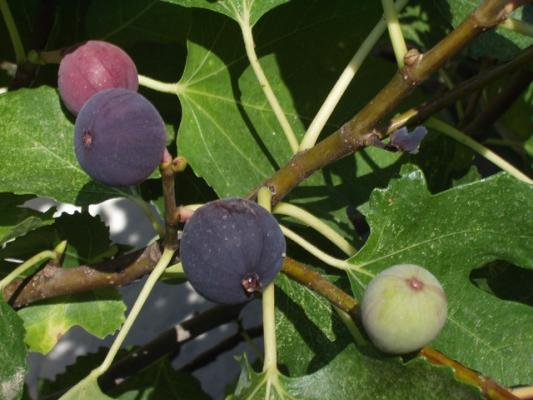 Feigenbaum - 'Napolitana' Ficus carica