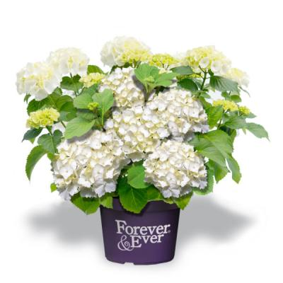 Forever and Ever® White Hortensie