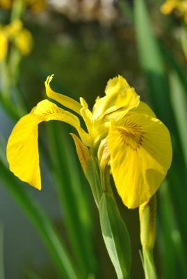 gelbe Sumpfschwertlilie Iris pseudacorus
