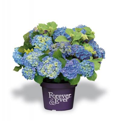 Forever and Ever® Blue Hortensie