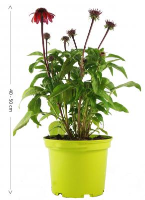 XXL Sonnenhut Echinacea Sangrita rot 19 cm Topf