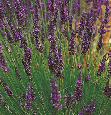 Duft - Lavendel Lavendula angustifolia Grosso