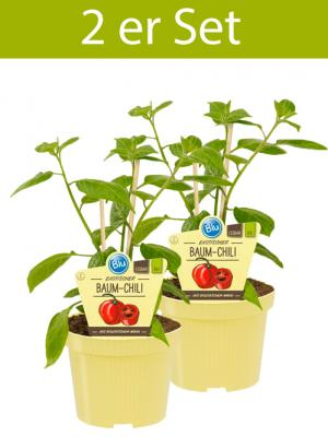 2 er Set BIO Capsicum pubescens Baum-Chili
