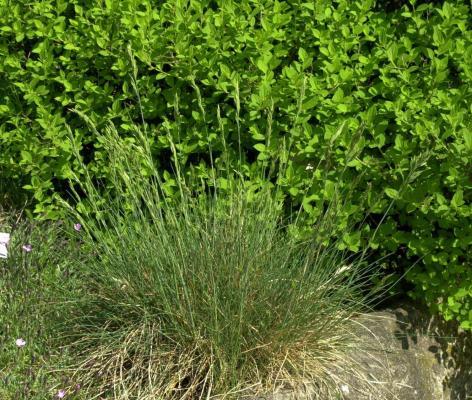 Festuca ( Blauschwingel ) - amethystina