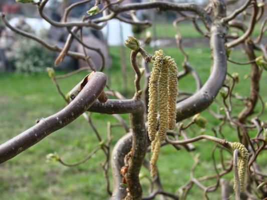 Korkenzieherhasel - Corylus avellana 'Contorta'