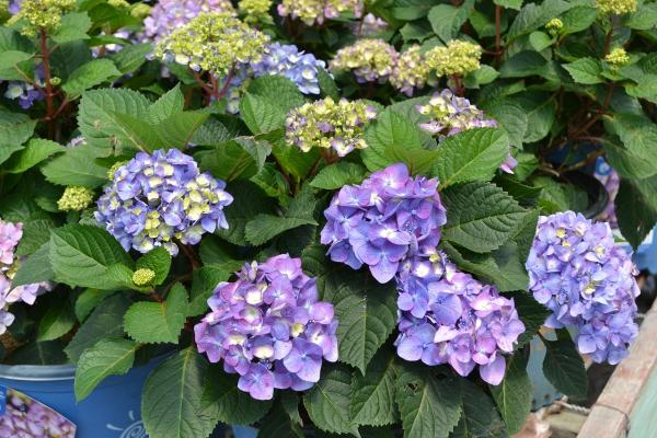 Hortensie - Endless Summer® blau the original