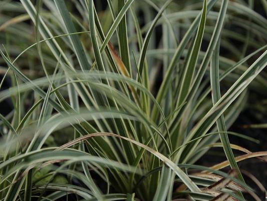 Carex  ( Segge ) - conica 'Snowline'