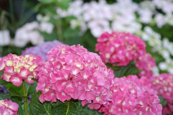 Ballhortensie 'Bela' ® rosa - Hydrangea macrophylla
