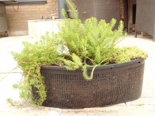 Nierenkorb fertig bepflanzt Sauerstoffpflanzen