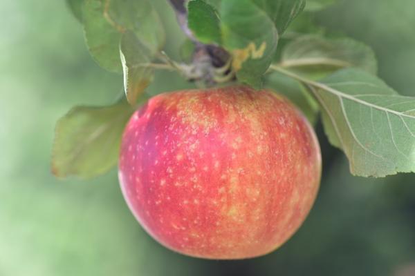 Herbstapfel 'Alkmene' - Malus 'Alkmene'