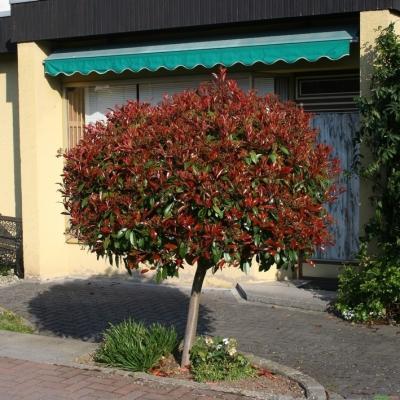 Glanzmispel Hochstamm - Photinia fraseri Red Robin