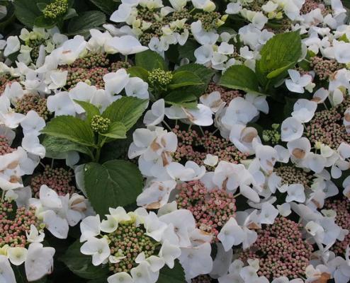 Tellerhortensie 'Benxi' - Hydrangea macrophylla