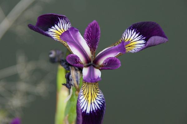 Ak.Schwertrlilie blau Iris versicolor