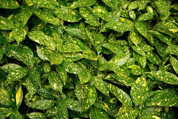Japanische Aukube 'Crotonifolia' - Aucuba japonica