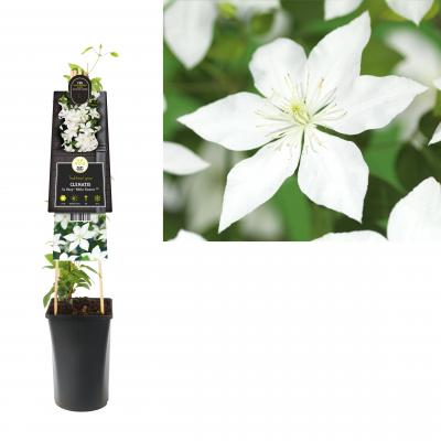 Clematis So Many® White Flowers PBR