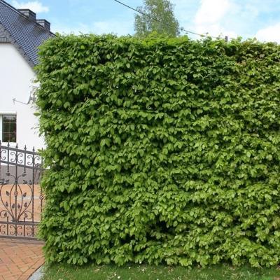 Hainbuche Weißbuche im Container - Carpinus betulus C.3