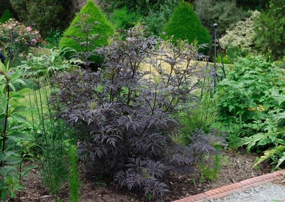 Schwarzer Holunder 'Black Lace' - Sambucus nigra