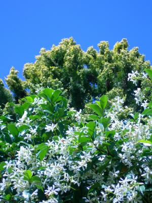 Trachelospermum jasminoides - Sternjasmin