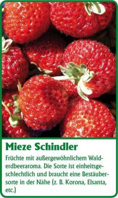 Erdbeerpflanze - 12 Stück Mieze Schindler Fragaria ananassa