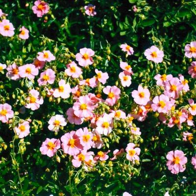 Sonnenröschen Helianthemum - Hybr. 'Lawrensons Pink'