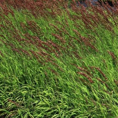 Melica ( Perlgras ) - altissima 'Atropurpurea'