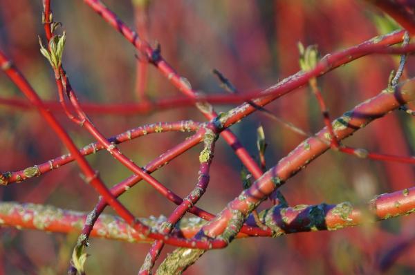 Roter Hartriegel - Cornus alba 'Sibirica'