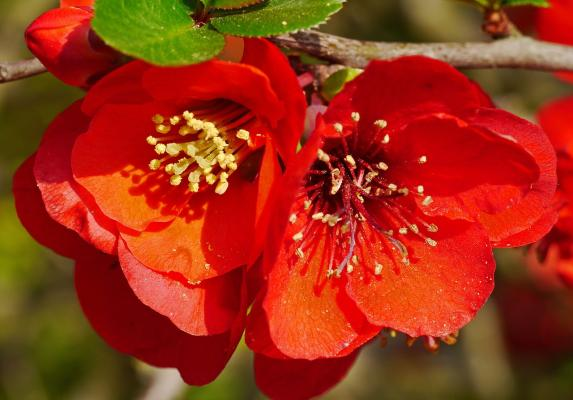 Zierquitte 'Red Trail' - Chaenomeles speciosa