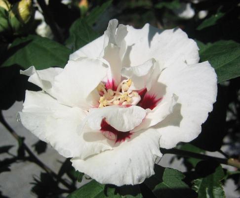 Garteneibisch 'China Chiffon' ® - Hibiscus syriacus