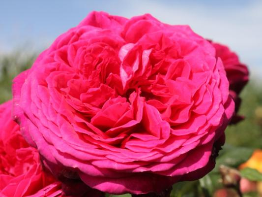 Duft- und Edelrose - Goethe Rose