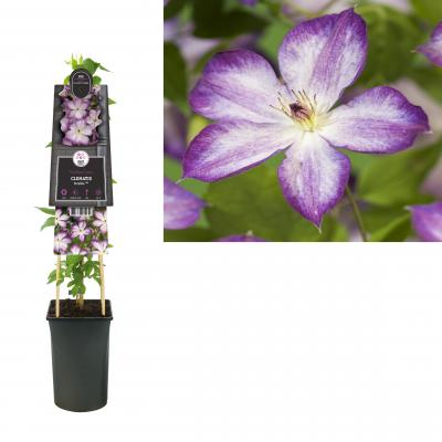 Clematis Pernille PBR