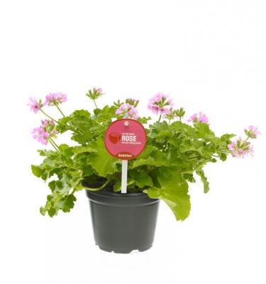 3 er Set Duftgeranie Rosenduft Pelargonium crispum