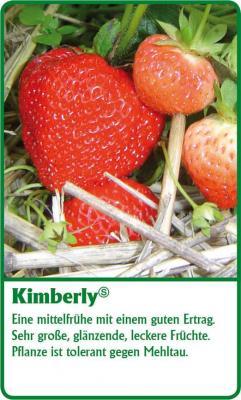 Erdbeerpflanze - 12 Stück Kimberly Fragaria ananassa