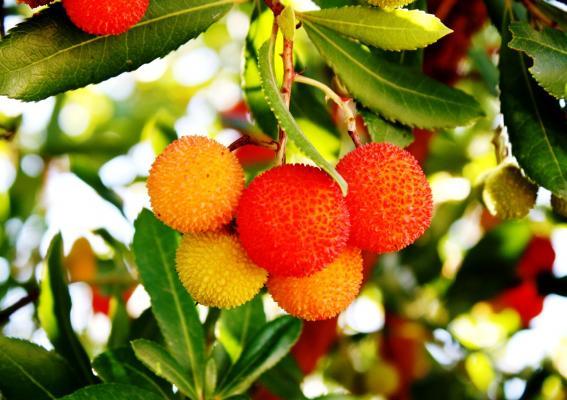Erdbeerbaum - Arbutus unedo