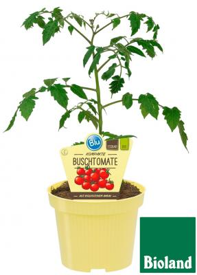 Busch-Tomate BIO Lycopersicon esculentum