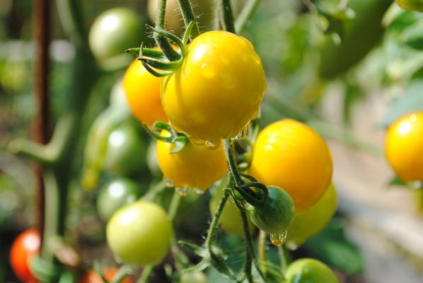 3 Stück Gelbfruchttomate Lycopersicon esculentum 'Goldene Königin'