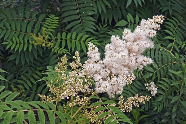 Niedrige Fiederspiere 'Sem' - Sorbaria sorbifolia