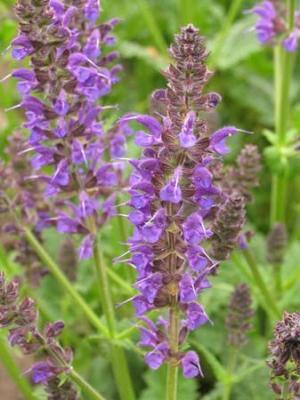 Salbei Salvia  - nemorosa 'Mainacht