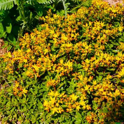 Fetthenne Sedum  - floriferum 'Weihenstephener Gold'